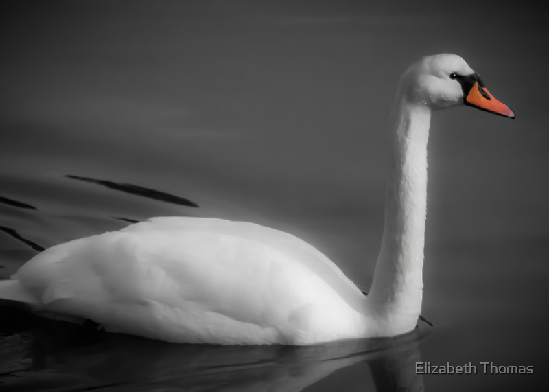 Swan in Black and White by Elizabeth Thomas