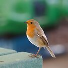 British Robin by alisonfd