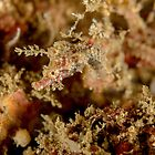 Pygmy pipehorse - Idiotropiscis lumnitzeri by Andrew Trevor-Jones