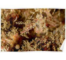 Pygmy pipehorse - Idiotropiscis lumnitzeri Poster