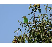 Lorikeet in my pear tree Photographic Print