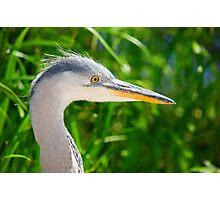 Heron 39 views Photographic Print
