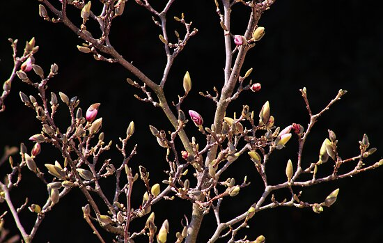 Magnolia Tree in early Spring by brijo