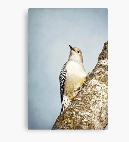 Red-Bellied Woodpecker ~ Canvas Print