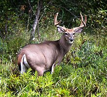 Gorgeous Whitetail Buck by Vickie Emms