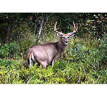 Gorgeous Whitetail Buck Photographic Print