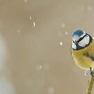snowy blue tit by Steve Shand