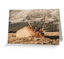 Bull Elk Napping Greeting Card