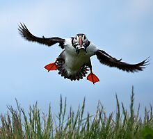 Puffin coming in to land on Outer farne by Martin Lawrence