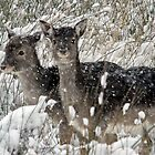 Fallows in the snow by Gary Richardson