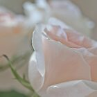 Subtle Rose 3 by Elizabeth Thomas