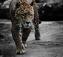 Jaguar on the Hunt by CelticOrigins