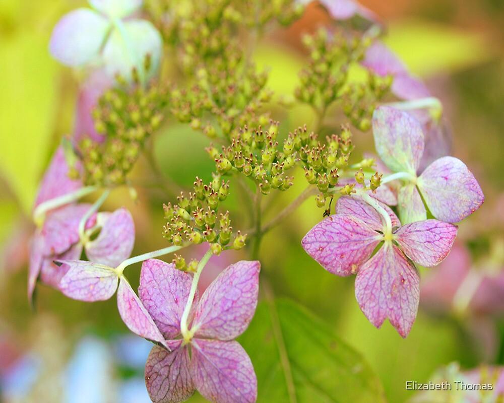 Pink Oakleaf Hydrangea Flower by Elizabeth Thomas