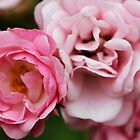 Pink Princess Rose Flowers by Elizabeth Thomas