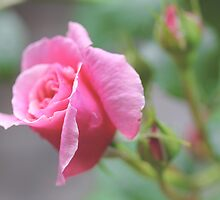 Pink Rose Bud Flower by Elizabeth Thomas