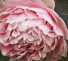 Subtle Pink Peony Flower by Elizabeth Thomas