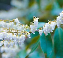 White Lily of the Valley Flower by Elizabeth Thomas