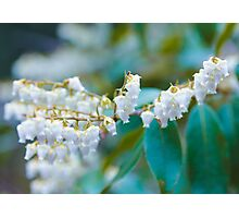 White Lily of the Valley Flower Photographic Print