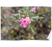 Pink Princess Rose Flower Poster