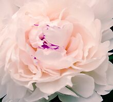 White Pink Peony Flower Bloom by Elizabeth Thomas