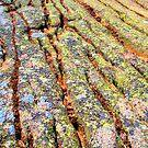 Colorful lichen, Maine coast by LichenRockArts