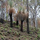 Xanthorrhoea aka Grass Trees by aussiebushstick