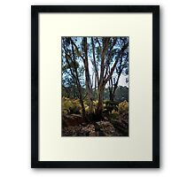 Eucalypt's and Wattle by Lorraine McCarthy Framed Print