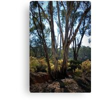 Eucalypt's and Wattle by Lorraine McCarthy Canvas Print