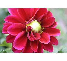 A Dahlia Flower Photographic Print