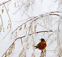Robin in Icy Tree by Tobin Rogers