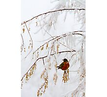 Robin in Icy Tree Photographic Print