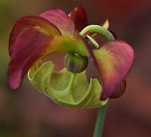 Orchid by Linda Cutche
