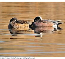 American Wigeons (Sleeping Couple) by Dennis Stewart
