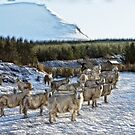 Sheep Watching in the Snow by derekbeattie
