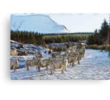Sheep Watching in the Snow Canvas Print