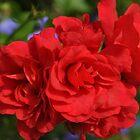 Flora Rouge by Fury Iowa-Jones