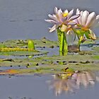 Lilies on Parry's Lagoon by Graeme  Hyde