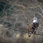 Bald Eagle by Sheri Bawtinheimer