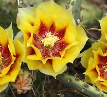 Cactus Blooms by Paul Sturdivant