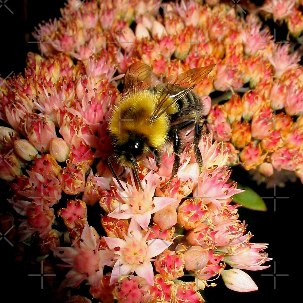 Bumble Bee On Sedum l by BavosiPhotoArt