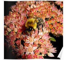 Bumble Bee On Sedum l Poster