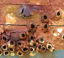 Empty Barnacle Shells On an Old Boat by AuntDot
