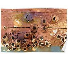 Empty Barnacle Shells On an Old Boat Poster