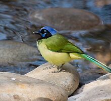 Colorful Birds from North America by Robert Kelch, M.D.