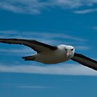 Black Browed Albatross by SwampDogPhoto