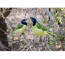 Loving Green Jays Photographic Print