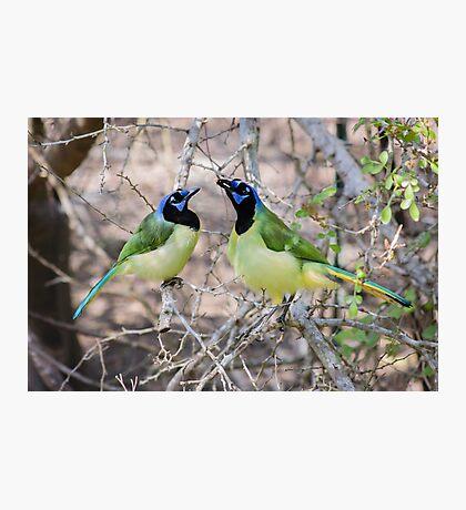 Loving Green Jays Photographic Print