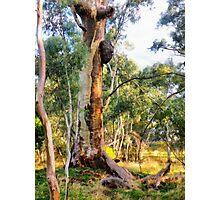 Old Man Gum Tree. Photographic Print