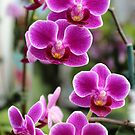 Lovely Orchids by Carolyn  Fletcher