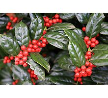 Cindy's Holly Photographic Print